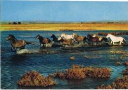 Cpm  LA CAMARGUE Manade De Chevaux Sauvages - Horse Show