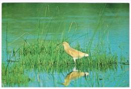 H3217 Uccelli Birds Oiseaux - Rallenreiher - Crabier Chevelu - Sgarza Ciuffetto - Ardeola Ralloides / Non Viaggiata - Birds