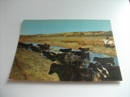 MUCCHE MANDRIA MANADE DE TAUREAUX  LE CAMARGUE  BOUCHES DU RHONE COW BOY - Cows