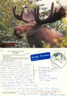 Bull Moose, Newfoundland, Canada Postcard Posted 2009 Stamp - Terre-Neuve & Labrador