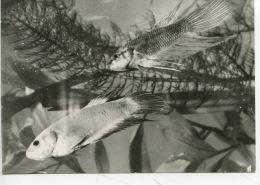 Betta Splendens (eaux Douces Stagnantes) N°18 Siam - Postcards