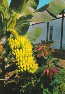 España--Tenerife--Planta De Platano Y Flor De Pascua-- - Árboles