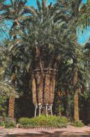 España--Alicante--Elche--Huerto Del Cura--Palmera Imperial De Los Ocho Brazos--200, Años - Árboles