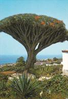 España--Tenerife--Los Realejos--Drago, Milenario-- - Árboles