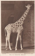 ZOO POSTCARD. GIRAFFE (MAUD) - Girafes