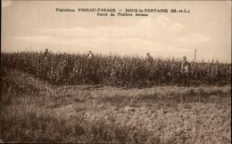 49 - DOUE-LA-FONTAINE - Pépinières PINEAU-PARAGE - Poiriers - Photo Godichaux - Doue La Fontaine