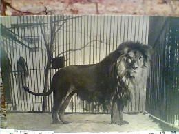 LEONE IN GABBIA   ZOO  N1920  EY4256 - Lions