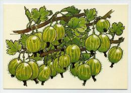 Groseilles à Maquereaux, Gooseberries - Drawing By Marguerite Walfridson - Scandecor 7895 - Fleurs, Plantes & Arbres