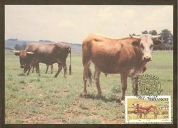 AFRIQUE SUD TRANSKEI Carte Maximum - Vaches Et Veau - Transkei
