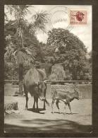 AFRIQUE SUD Carte Maximum - Tête De Zébu - Afrique Du Sud (1961-...)
