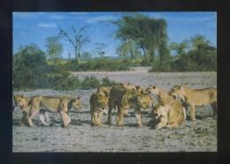 Kenia *African Wild Life. Lion Pride* Ed. Sapra Studio Nº 430. Circulada. Sello Desprendido. - Kenia