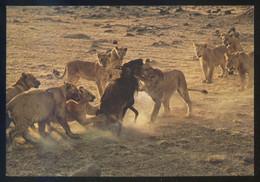 Kenia *African Wild Life. Lions White A Kill* Ed. Sapra Studio Nº 11. Circulada. Sello Desprendido. - Kenia