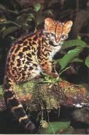 Lote PEP852, Costa Rica, Postal, Postcard, Fauna, Caucel, Felis Wiedii - Costa Rica