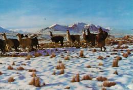 LA  PAZ    ALTIPIANO  NEVADO     (NUOVA) - Bolivia