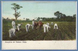 CUBA -- Siembra De Tabaco - Cuba
