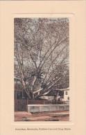 Rubber Tree and Drug Store Hamilton Bermuda