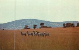 ZEBRES DE LA KAGERA - Rwanda