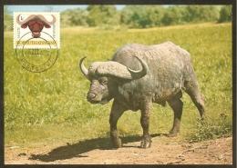 BOPHUTHATSWANA Carte Maximum - Buffle - Bophuthatswana