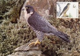 IRLANDE Carte Maximum - Falco Peregrinus - Cartoline Maximum
