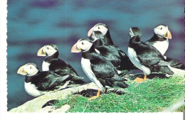 The Atlantic Puffin A Program Has Moved Them Back From Newfoundland To Maine - Birds