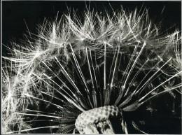 France Fantaisie Photographique Etude Gros Plan Fleur Pissenlit Ancienne Photo Deplechin 1960