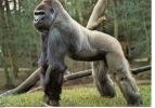 Gorille - Les Mathes Parc Zoologique De La Palmyre Royan : Migger Gorille Né Zoo Bâle 1964 Arrivé 1980 (n°5) - Apen