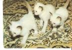 Latvia Russia ?  1992 Fauna Animal CAT KITTEN PUSSY-CATS Photo By Babalarov - Calendriers