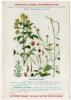 Publicité Pharmacie Fiche Plante Médicinale Moutarde 1920 Très Bon état - Plantes Médicinales