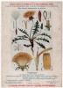 Publicité Pharmacie Fiche Plante Médicinale Pissenlit 1920 Très Bon état - Plantes Médicinales