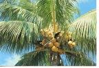 Archipel De La Guadeloupe : Saint Barth (barthelemy) Coco D'Or (n°033) - Saint Barthelemy