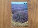 47525 POSTCARD: FLOWERS: Norfolk Lavender. - Other