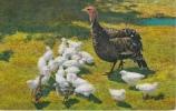 DINDON - Oiseaux