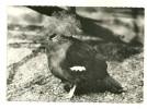 CARTE POSTALE OISEAUX GOURA COURONNE  BIRDS ANIMAUX FAUNE PUBLICITE MEDECINE - Birds