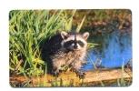Russia Kirov Fauna Raccoon 150 Units - Russia