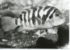 Amérique : Cichlasoma (cichlides) San Salvador (eaux Douces) N°4 - Salvador