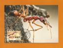 Australien 2014 , Things That Sting - Bull Ant - Maximum Card - First Day 23 September 2014 - Maximumkarten (MC)