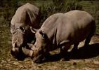 11 - SIGEAN - Réserve Africaine - Rhinocéros - Sigean