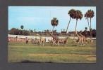 ANIMAL - ANIMAUX - GIRAFES ET ZÈBRES - THE DARK CONTINENT BUSCH GARDEN TAMPA FLORIDA - Girafes