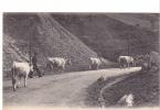 24878 SCENES ET TYPES DES PYRENEES France Vaches Allant Paturage -LL 42 -boeuf