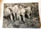 PARC NATIONAL DU NIOKOLO KOBA SENEGAL ELEPHANTS SORTANT DU BAIN - Elephants