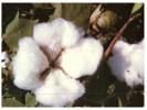 (989) Australia - QLD - Cotton Farming - Cultures