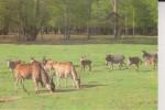 ANIMALES DE AFRICA - Cebras