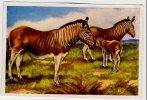 Wunder Der Tierwelt - Säugetiere (1933) - 31 - Zebra, Quagga, Couagga - Ohne Zuordnung