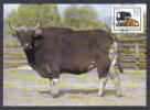 East Germany Maxicard Mi 2955 Cows Banteng Bos Javanicus 1985 - Kühe