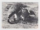 67- KINTZHEIM - Volerie Des Aigles - Circaete Jean Leblanc Aux Prises Avec Une Vipère - Vogels