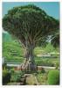 Espagne--près Tenerife--ICOD DE LOS VINOS--Dragonnier Millénaire (plante,arbre Remarquable ?)?cpm N°1008 éd Gasteiz - Espagne