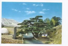 Millenary Cedar Tree Postcard Lebanon , Carte Postale Liban Libanon - Lebanon