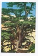 Multi Millenary Cedar Tree Postcard Lebanon , Carte Postale Liban Libano - Lebanon