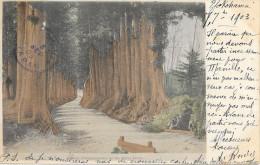 JAPON - YOKOHAMA - Avenue Of Cryptomerias On The Nikko Kaido - Circulé: 1903 - Yokohama