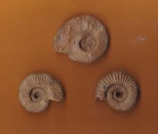 3 Ammonites ( Deux-Sèvres ) état Brut 35 X 30mm  35 X 30 Mm 35 X 33mm état Brut - Fossiles